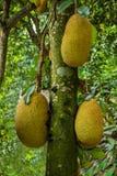 Xishuangbanna Xiaoganlanba jackfruit tree Royalty Free Stock Image