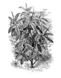 Ficus elastica, vintage engraving Stock Photos