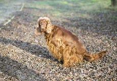 Xixi do cão Fotografia de Stock
