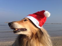 Xmas collie psy Obraz Royalty Free