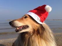 Xmas-colliehundkapplöpning Arkivfoto