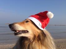 Xmas-colliehundkapplöpning Royaltyfri Bild