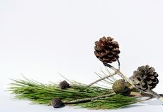 Xmas Composition. Pine tree composition Royalty Free Stock Photos