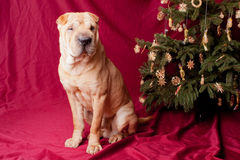 Xmas dog Stock Photos