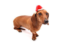 Xmas dog Royalty Free Stock Image