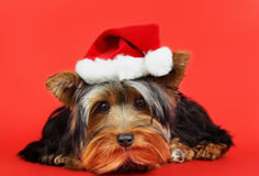 Xmas dog portrait Royalty Free Stock Images