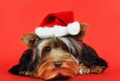 Xmas dog portrait. Little cute yorkshire dog with xmas santa hat Royalty Free Stock Images