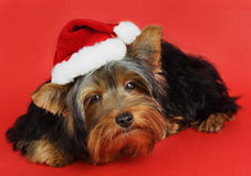 Xmas dog portrait Stock Photos