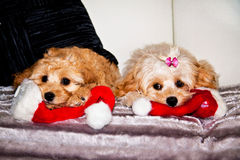 Xmas Dogs. Two dogs getting excited about Christmas Stock Images