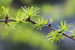 Xmas fir tree branch. evergreen leaves needles, gray background. shallow depth of field. Royalty Free Stock Images