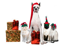 Xmas Gang. House pets adorned with Xmas hats and gifts Royalty Free Stock Photo