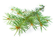 Xmas green fir tree branch isolated on white. Background royalty free stock photography