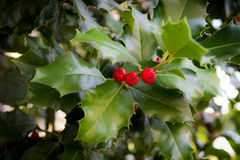 Xmas Holly Stock Images