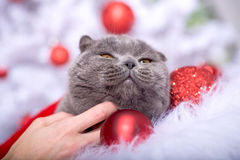 Xmas portrait of a cat Royalty Free Stock Images
