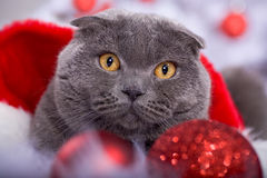 Xmas portrait of a cat Royalty Free Stock Photo