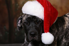Xmas puppy Stock Photo