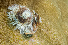 Xmas tree worm in hard coral in Raja Ampat Papua, Indonesia Stock Photo