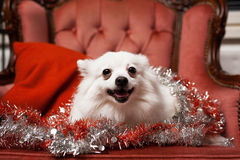 Xmas volpino italiano dog Royalty Free Stock Photo
