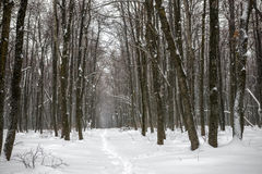 Xmas winter forest with snowstorm and footpath Royalty Free Stock Photo