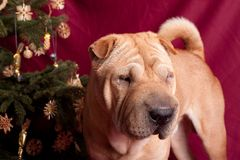 Xmax sharpei dog Royalty Free Stock Photos