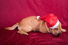 Xmax sharpei dog Royalty Free Stock Image