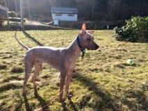 Xoloitcuintles en trevlig seende naken hund Arkivbilder