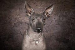 xoloitzcuintle狗纵向  库存照片