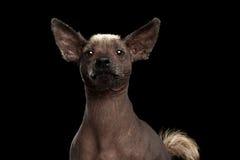 Xoloitzcuintle - άτριχη μεξικάνικη φυλή σκυλιών, πορτρέτο στούντιο στο μαύρο υπόβαθρο στοκ φωτογραφίες