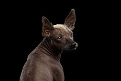 Xoloitzcuintle - άτριχη μεξικάνικη φυλή σκυλιών, πορτρέτο στούντιο στο μαύρο υπόβαθρο Στοκ εικόνες με δικαίωμα ελεύθερης χρήσης