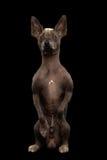 Xoloitzcuintle - άτριχη μεξικάνικη φυλή σκυλιών, πορτρέτο στούντιο στο μαύρο υπόβαθρο Στοκ Εικόνα