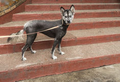 The xoloitzcuintle also called Mexican naked dog Stock Image