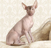 Xoloitzcuintle dog on a antique couch Stock Photography