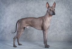 Xoloitzcuintle dog, eighteen months old Royalty Free Stock Image