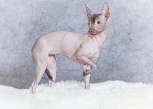 Xoloitzcuintle dog on a fur Stock Photography