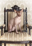 Xoloitzcuintle dog sitting on an antique chair Stock Photo