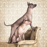 Xoloitzcuintle dogs on a antique couch Royalty Free Stock Images