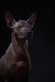 Xoloitzcuintle - hårlös mexikansk hundavel Arkivbilder