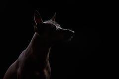 Xoloitzcuintle - hårlös mexikansk hundavel Royaltyfri Bild