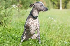 Xoloitzcuintle - hairless dog Stock Images