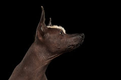 Xoloitzcuintle - hairless mexican dog breed, Studio portrait on Black background Royalty Free Stock Image