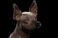 Xoloitzcuintle - hairless mexican dog breed, Studio portrait on Black background Royalty Free Stock Images