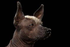 Xoloitzcuintle - hairless mexican dog breed, Studio portrait on Black background. Closeup portrait of Xoloitzcuintle - hairless mexican dog breed, on Isolated royalty free stock image