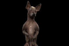 Xoloitzcuintle - hairless mexican dog breed, Studio portrait on Black background. Closeup Xoloitzcuintle - hairless mexican dog breed Standing on hind legs Stock Images