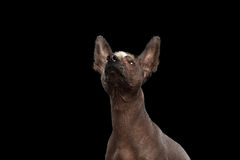 Xoloitzcuintle - hairless mexican dog breed, Studio portrait on Black background Stock Image