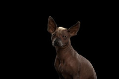 Xoloitzcuintle - hairless mexican dog breed, Studio portrait on Black background Stock Photo