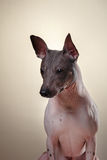 Xoloitzcuintle - hairless mexican dog breed Stock Photography
