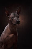 Xoloitzcuintle - hairless mexican dog breed Royalty Free Stock Images