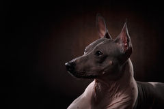 Xoloitzcuintle - hairless mexican dog breed. Studio portrait on a dark background royalty free stock photography