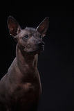 Xoloitzcuintle - hairless mexican dog breed Stock Images