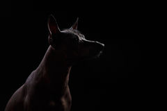 Xoloitzcuintle - hairless mexican dog breed Royalty Free Stock Image